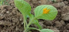 3-mal Kartoffelkäfer: Eier vom Kartoffelkäfer, Larven und Käfer