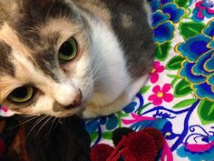 Duracell (Celli)  Cat   Pawshake