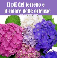 C'è un nesso tra il pH del terreno e il colore delle ortensie . Scopriamo tutti i dettagli nel nuovo post del nostro blog #ortensie #pH #phterreno #garden #gardening