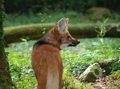 The Maned Wolf is the largest canid in South America