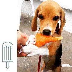 Martina y su paleta de verduras, disfrutando de la terraza pet-friendly de @cielitolindoco ❤️ #PerroFeliz #chachayelgalgo #pasteleriacanina #paletasparaperros #amorperruno #mascotas #peluditos #alimentacioncanina #petfriendlycali #tortasparaperros #cumpleañosperruno #cumpleañosparaperros #YoCreoEnCali #cali #calico #colombia #beagle #cachorro #mederrito  @juancho.ospina