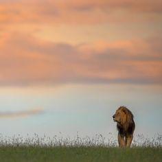 || Majestic King || Dominant Male Lion in the Masai Mara || Varun Aditya Photography