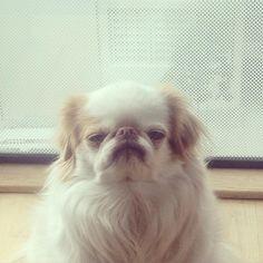 Follow https://www.instagram.com/theadmiralackbark/    Admiral Ackbark aka Grumpy dog – the Japanese Chin, San Francisco  #admiralackbark