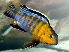 "Tropheops sp. ""red cheek"" (Likoma) - 4.5"" (male)"