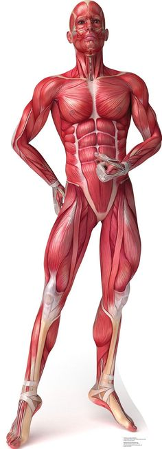 Major Muscles on the Front of the Body | Know your body | Pinterest ...