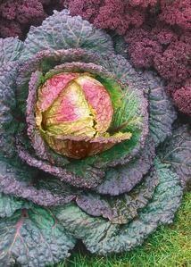 Purple Savory heirloom cabbage – beyond organic seeds
