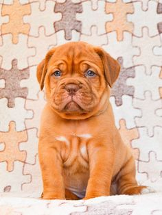Dogue de Bordeaux puppies for sale - Lifetime Health Guarantee! Only guaranteed quality, healthy puppies. French Mastiff Puppies, Mastiff Puppies For Sale, Rottweiler Puppies For Sale, Pomeranian Puppy For Sale, Chihuahua Puppies For Sale, Mastiff Dogs, Dogs For Sale, Terrier Puppies, Little Puppies