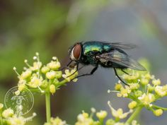 Macrophotography of fly  Image copyright A L I Sims 2016