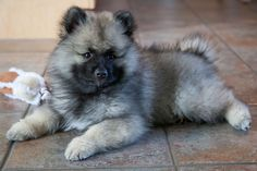 YOU MAY HAVE NEVER HEARD OF Keeshond is a medium-sized purebred dog known for being affectionate, playful, and alert. They are typically black, grey, silver, or white. You will see very quick results when you train them, and they love to play with children. Avg Life Expectancy: 13 yrs Origin: Germany and the Netherlands Keeshond Puppy Author Terri Brown