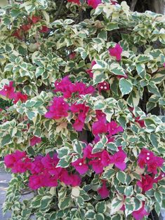 """The dramatic contrast between the leaves and bright bracts of the variegated Bougainvillea are striking indeed!"""
