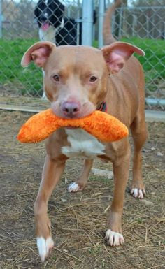 ADOPTED! URGENT--KILL SHELTER Kennel # 12 Pit Bull Terrier Mix  Young  Female  Medium Lorain County Dog Kennel Elyria OH