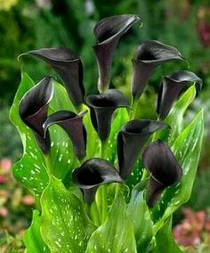 Black Callas... So Mysterious.