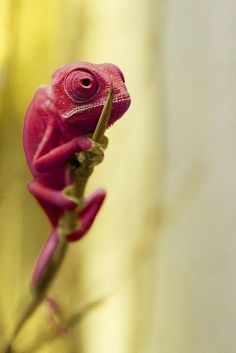 beautiful red chameleon sitting on a piece of grass