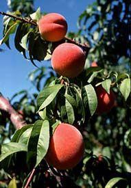 Peach tree care :: National Gardening Association
