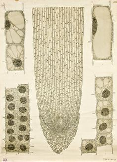 by FE Wachsmuth Cell growth -- Anatomia Vegetal pub. by FE WachsmuthCell growth -- Anatomia Vegetal pub. by FE Wachsmuth Botanical Drawings, Botanical Art, Botanical Illustration, Ernst Haeckel, Science Art, Science And Nature, Arte Yin Yang, Scientific Drawing, Scientific Method