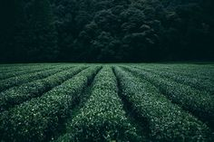 GREENLAND GREEN TEA Green Tea Farm Field Green Leaves by FormatCo