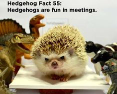 Twenty Incredible Hedgehog Facts That Will Astound You Hedgehog Facts, Hedgehog Pet, Cute Hedgehog, Baby Animals Pictures, Cute Baby Animals, Animals And Pets, Cool Diy Projects, Hedgehogs, The Twenties