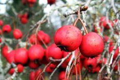 Hawthorn berries in winter Berries, Fruit, Vegetables, Winter, Trees, Winter Time, Tree Structure, Bury, Vegetable Recipes