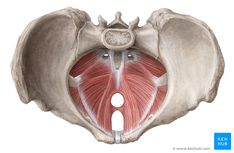 This is an article covering the origins, insertions, innervation and functions of the muscles of the pelvic floor. Learn all about those muscles here!