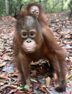 """""""O GRITO DO BICHO"""": Incêndios na Indonésia deixam orangotangos doentes..."""