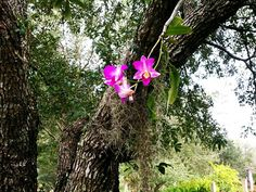 Beautiful Orchid hanging from the tree with spanish moss.