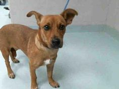 A131901 - URGENT - Pasadena Animal Control and Adoption American Pit Bull Terrier - ADOPT OR FOSTER - Adult Female Dachshund Mix