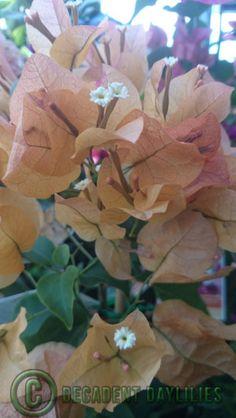 Bougainvillea plant for sale, plants, vine, garden
