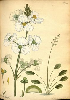 Lance-leaved Arrowhead known as Duck Potato (Sagittaria lancifolia). Plate from 'The Botanist's Repository' by Henry Andrews. Published 1797 by The author in London Biodiversity Heritage Library. archive.org