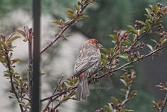 "This is the second of five images included in my blog entry where I ""introduced"" my crabapple tree @ http://www.thelastleafgardener.com/2016/04/my-malus-prairfire-prairfire-crabapple.html#more #house finch #crabapple tree"