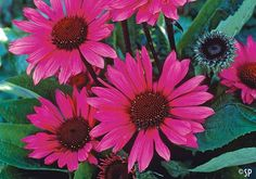 Echinacea'Fatal Attraction'  : a hybrid   sandy soil and full sun  perennial