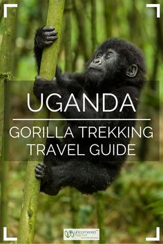 Everything you need to know before planning a gorilla trekking trip to Uganda. When to go, how to obtain a permit, what to pack, and what to expect during the trek itself. Travel in Africa. Uganda Travel, Africa Travel, Travel Advice, Travel Tips, Travel Ideas, Travel Info, Travel Hacks, Gorillas In The Wild, Travel Photographie