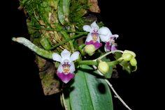 O&M 0510 Phalaenopsis parishii   por epicphals