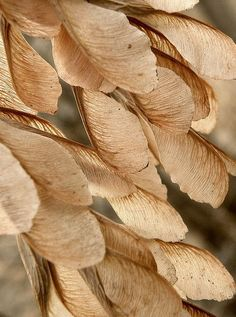 A big cluster of maple seeds, with just a little sunlight behind it, can be pretty cool. Cream Aesthetic, Gold Aesthetic, Photo Backgrounds, Motif Art Deco, Photocollage, Seed Pods, Mellow Yellow, Natural Texture, Wabi Sabi