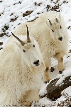 ~~High Mountain Family ~ mountain goats by Sandy Sisti-Wild at Heart Images~~
