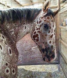 A sorrel Leopard Appaloosa, ancestor bred by Nez Perce Indian Mountain Ryder - Pferde - Cute Horses, Pretty Horses, Horse Love, Beautiful Horses, Animals Beautiful, Leopard Appaloosa, Appaloosa Horses, Photo Animaliere, Photo Chat