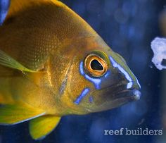 The Golden Hamlet is one of the crown jewels of Caribbean reef fish | Reef Builders