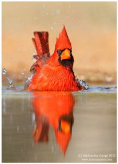 Northern Cardinal taking a bath ...