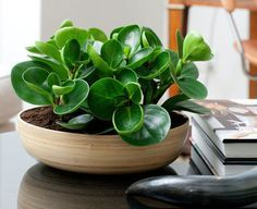 11 Of The Best Plants To Have On Your Coffee Table: Baby Rubber Plant prefers filtered light and infrequent watering.
