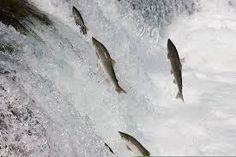 Myndaniðurstaða fyrir salmon jumping