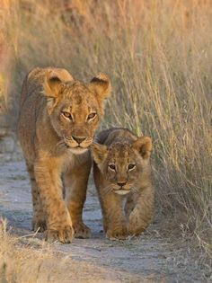 Lion cubs in Hwange National Park, Zimbabwe - Pixdaus Beautiful Cats, Animals Beautiful, Beautiful Places, Cute Baby Animals, Animals And Pets, Big Cats, Cute Cats, Gato Grande, Photo Animaliere