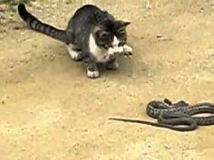 Cat vs snake.!! - Vine Hour - Let`s vine!