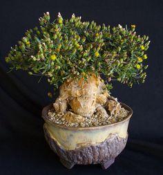 ankhworks Photo Keywords: succulent bonsai