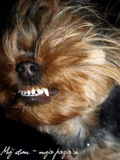 dog, yorkshire terrier, puppy, smile