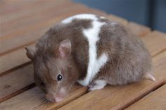 Chocolate Umbrous Tricolour White Banded Syrian Hamster female - beautiful! | Hamstery Hairball