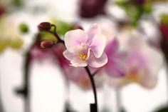 Pale Purple Miniature Orchid