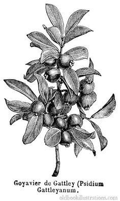 Illustration showing Strawberry guava, a small tree, bearing small red or yellow fruit, which are somewhat sour but sometimes eaten or made into jam