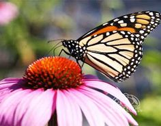 How to Attract Butterflies