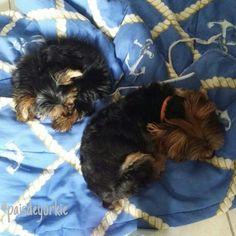 Yorkshire yorkie yorkiedog yorkielove dog cachorrinhos cães yorkielove