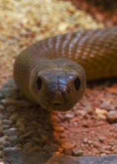 headlikeanorange:  Inland taipan (Zoos Victoria)