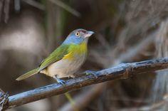 Foto pitiguari (Cyclarhis gujanensis) por Ivan Angelo | Wiki Aves - A Enciclopédia das Aves do Brasil